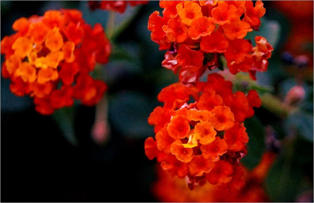 Blumen auf Gran Canaria