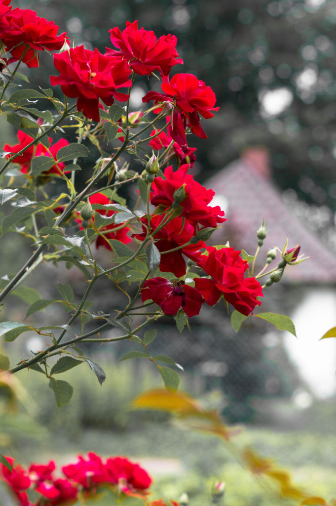 Rote Rosen Foto