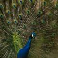 Blauer Pfau Foto Tiergehege Bremen